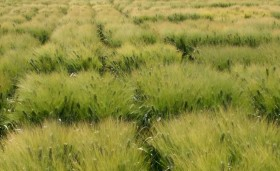 Wheat test plots in Obregón, Mexico.