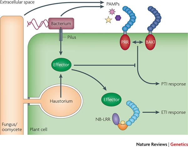 Diagram of plant immune responses