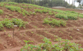 Field trials of late blight resistant potatoes in Uganda Photo: Dr Marc Ghislain