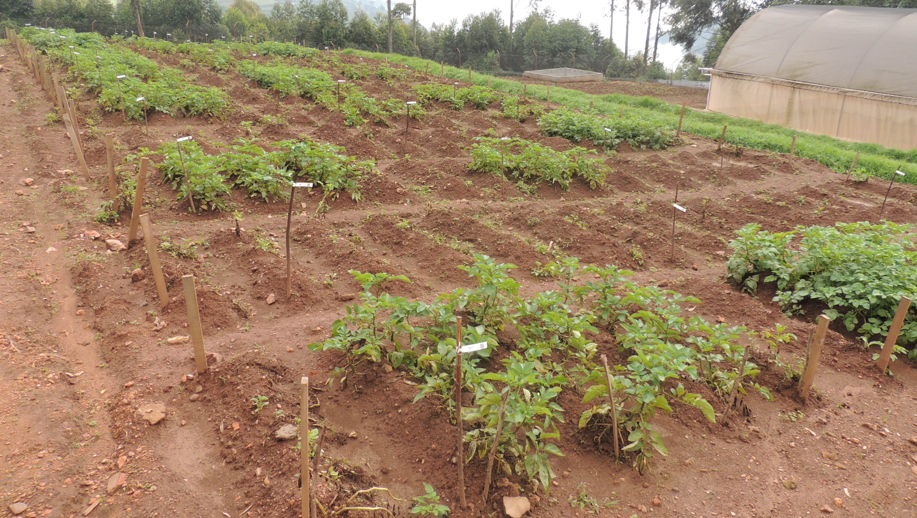 Field trial view of late blight resistant potatoes in Uganda