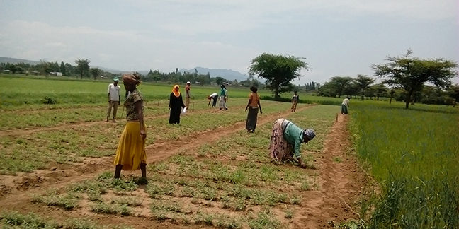 Planting chickpea for a nitrogen fixation trial in fields near Addis Ababa, Ethiopia. Photo: Prof D. Cook