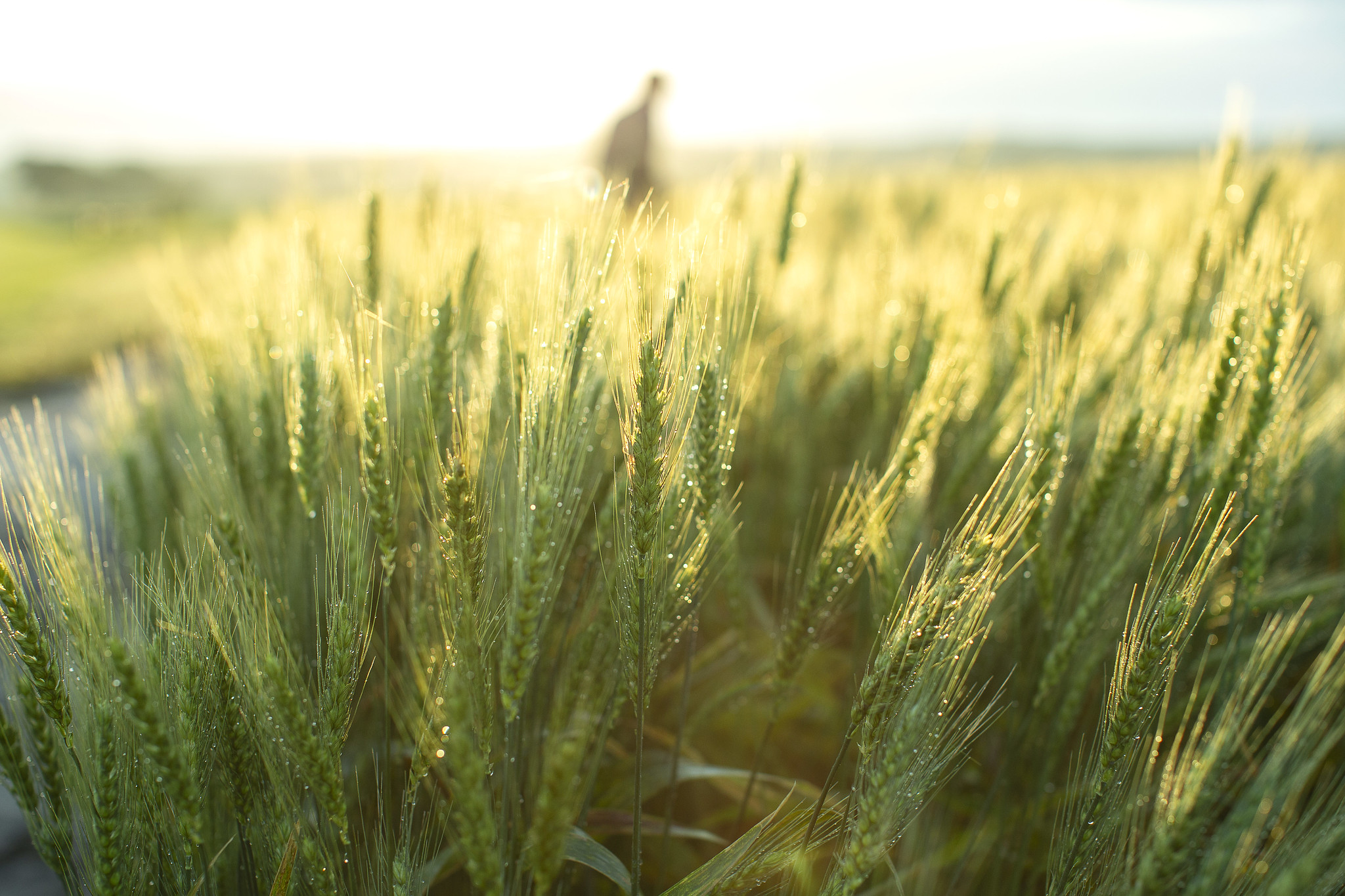 Emmer Wheat. Photo Credit: Kansas State University Wheat Genetics Resource Center